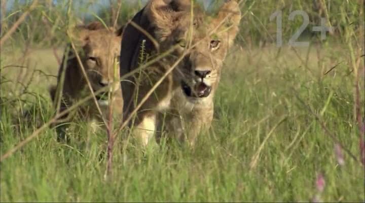 National Geographic: Дикая Ботсвана: Братство львов